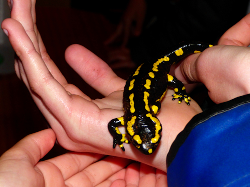 Handling at fire salamander