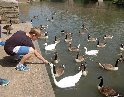 feeding the Stratford swans